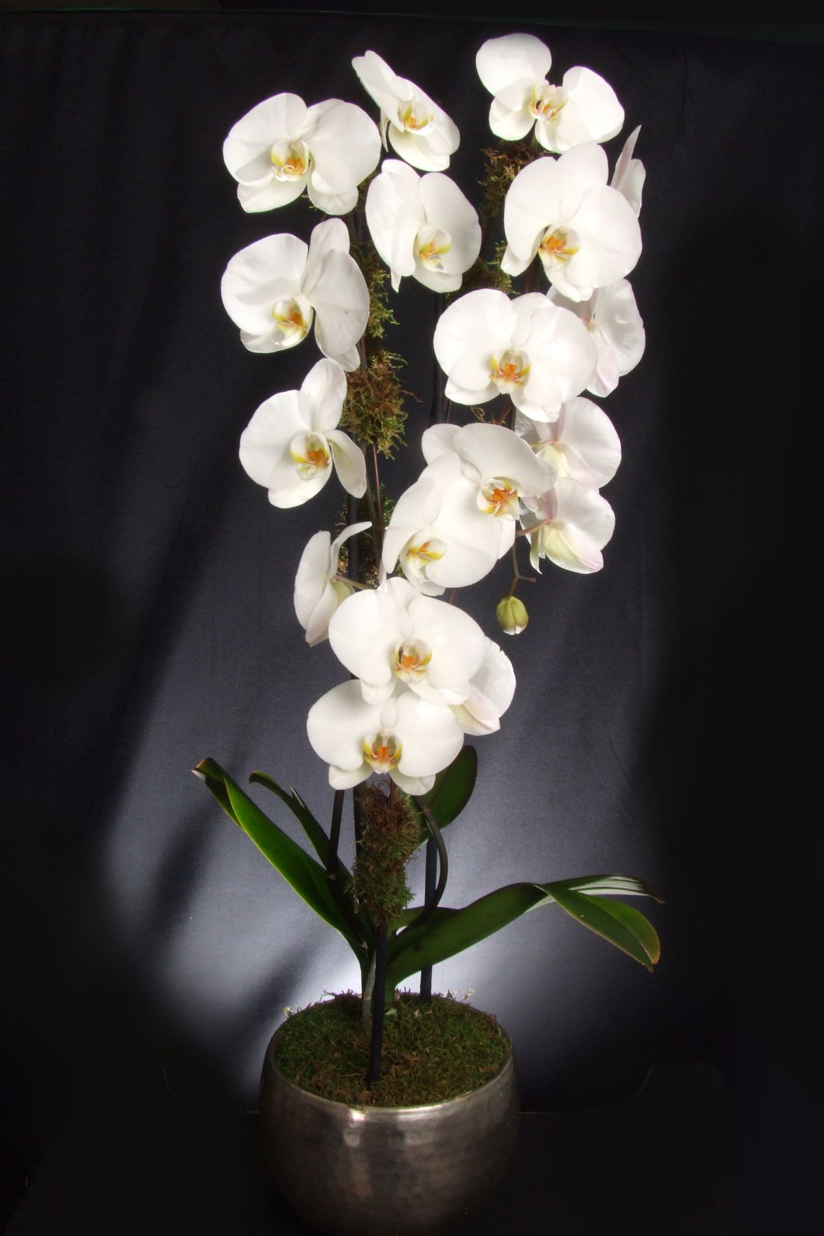 Placing The Lush Cascading Orchid In Your Living Room Is Like Bringing Spring Into Your Living Room They Are Orchids Same Day Flower Delivery Flower Delivery
