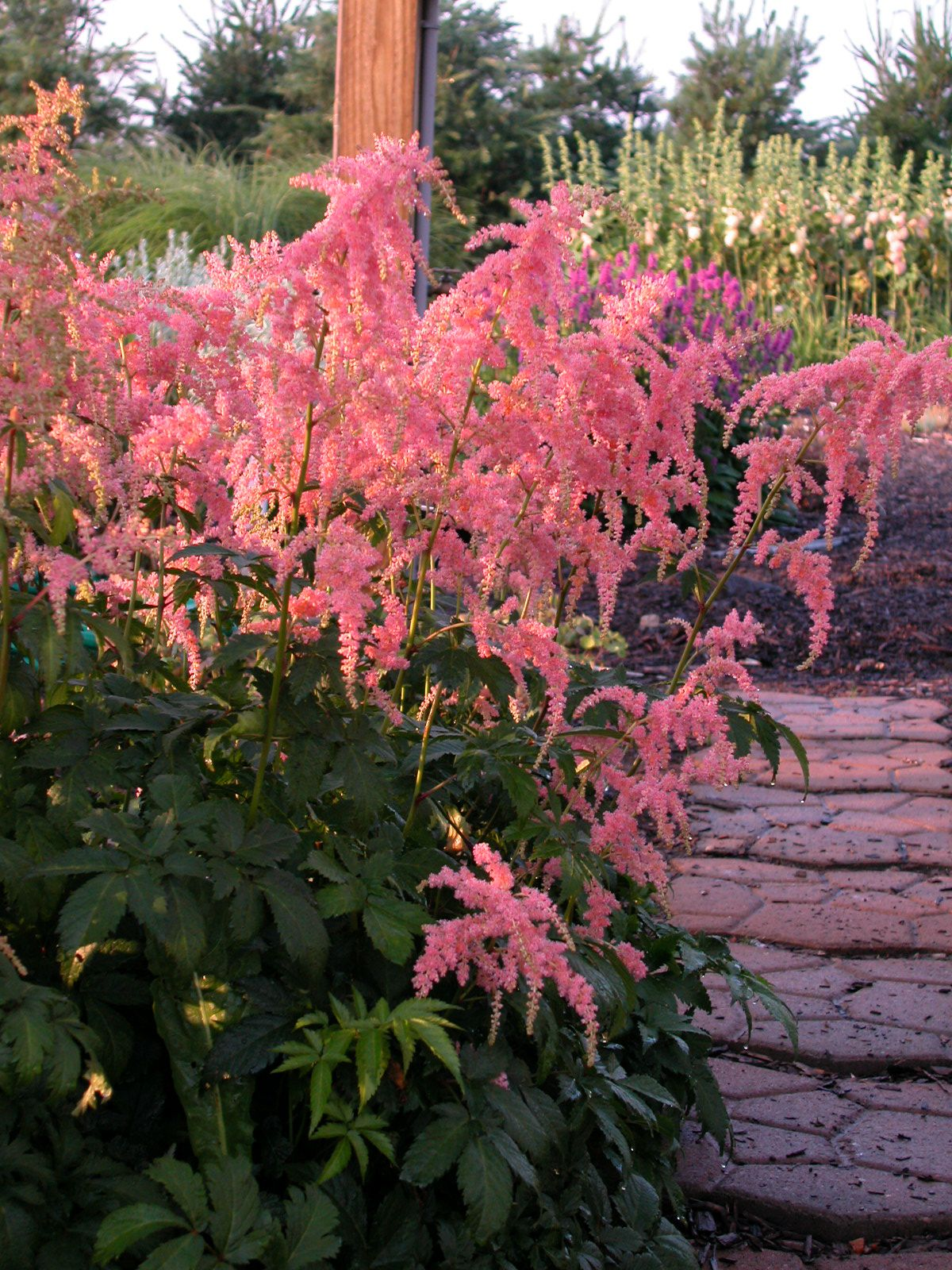 Minnesota Hardy Cut Flowers Got Shady Astilbes Are Great For