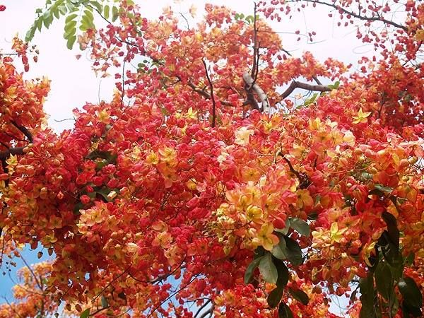 by Secret language of flower Cassia marginata Red Shower Tree