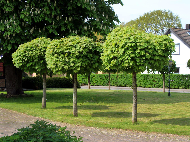 kugelahorn kugelbaum 39 globosum 39 acer platanoides. Black Bedroom Furniture Sets. Home Design Ideas