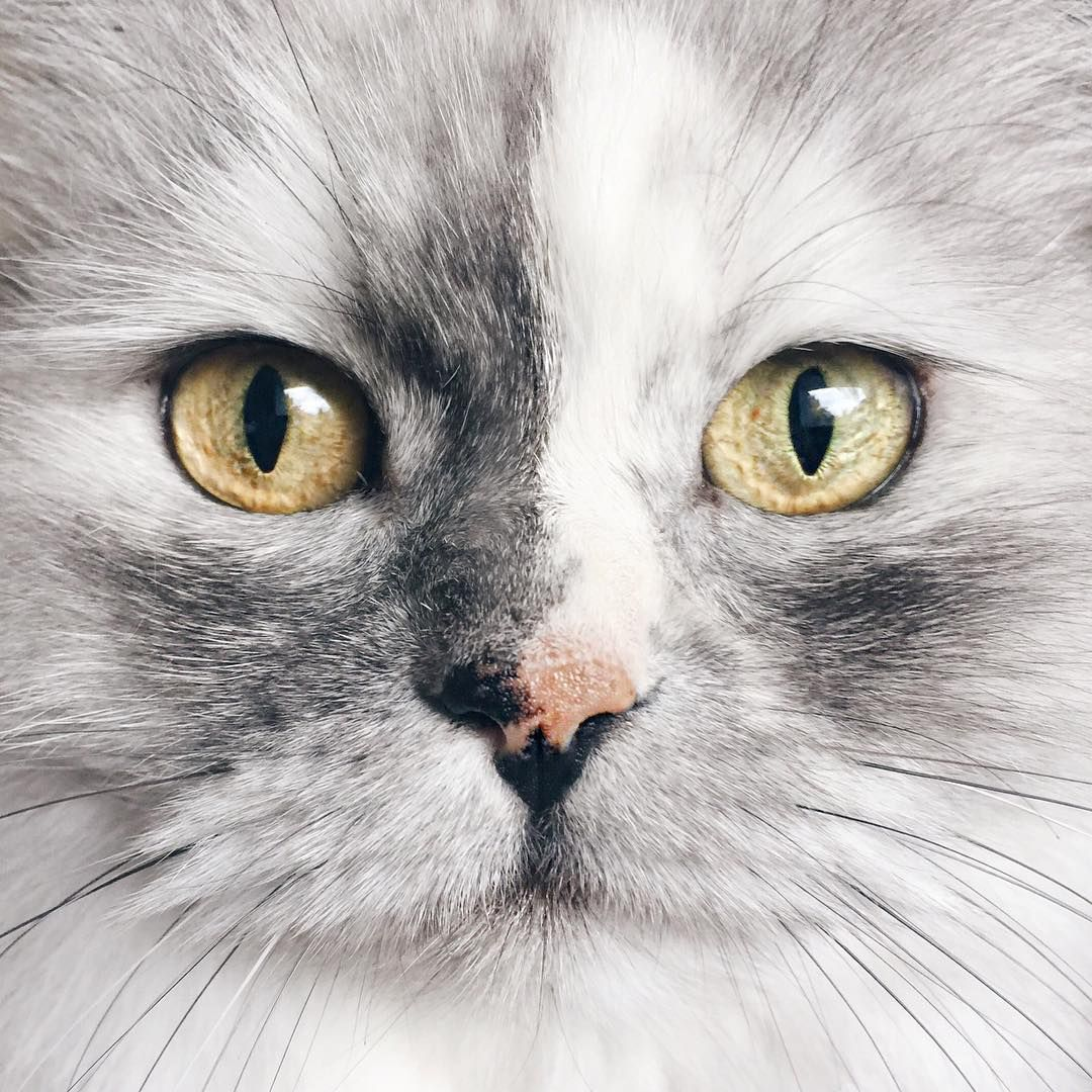 Alice is a 6-year-old Persian mix