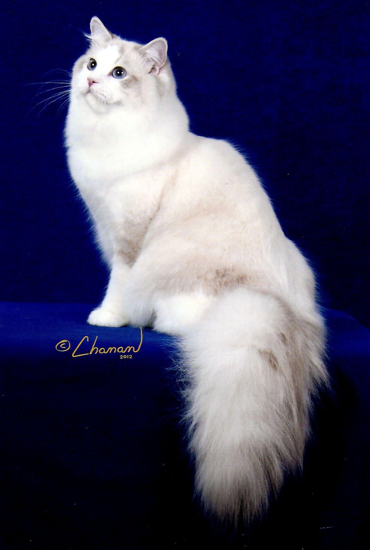 Pin By Sally Johnson On Besto Ragdoll Cat Breeders Ragdoll Cat Cats And Kittens