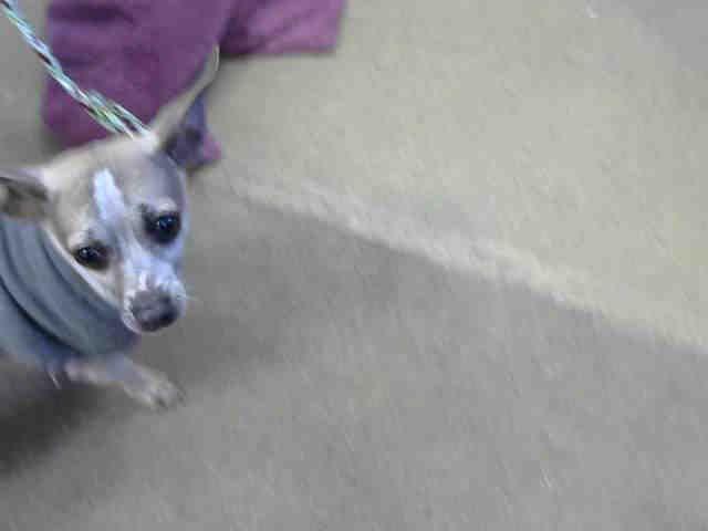 Chihuahua Dog For Adoption In Sacramento Ca Adn 454819 On