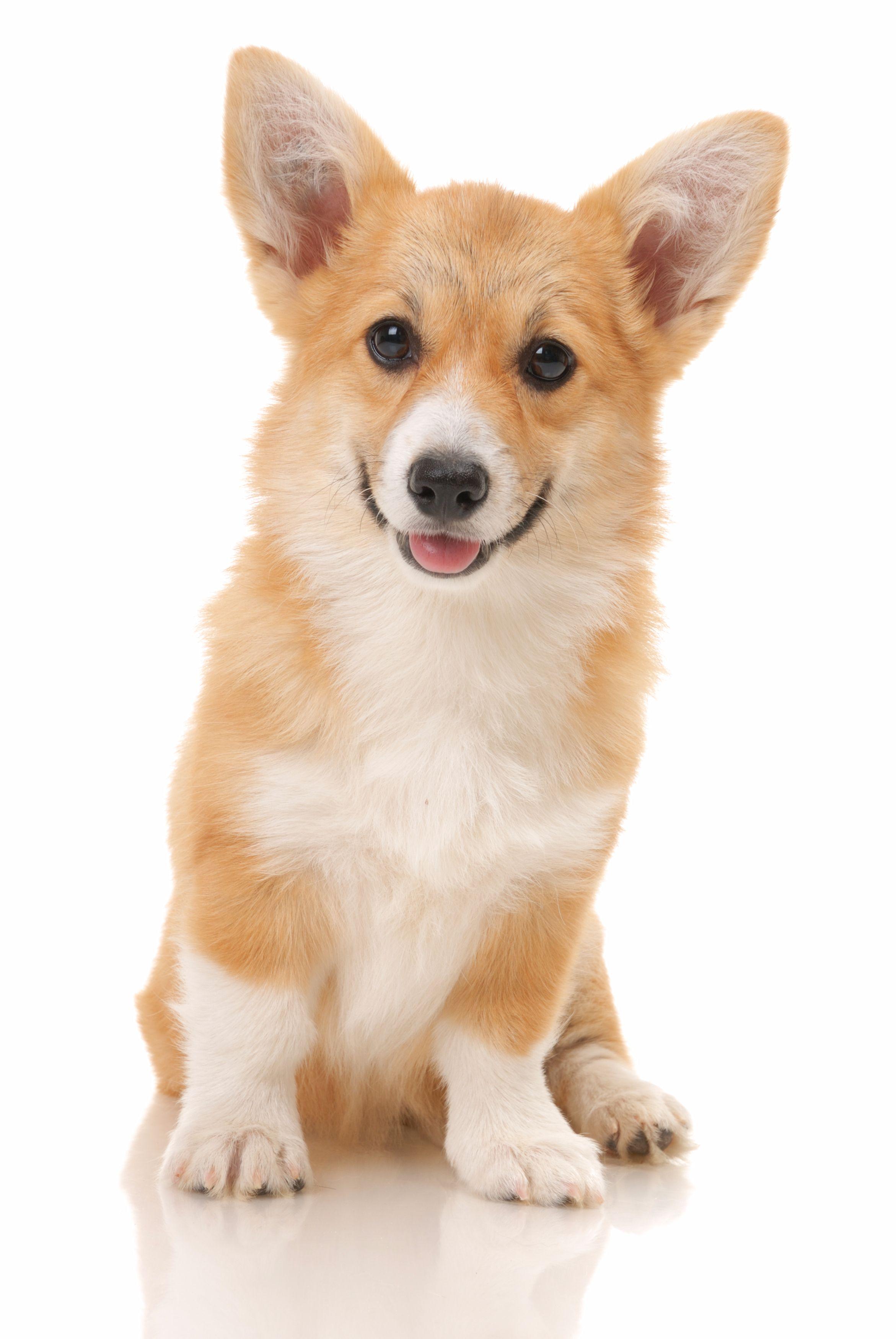 Pin By Bob On Shutterstock Editor Corgi Corgi Dog Corgi Pembroke