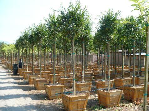 San Antonio Nursery Corp Whole To The Public Evergreen Elm
