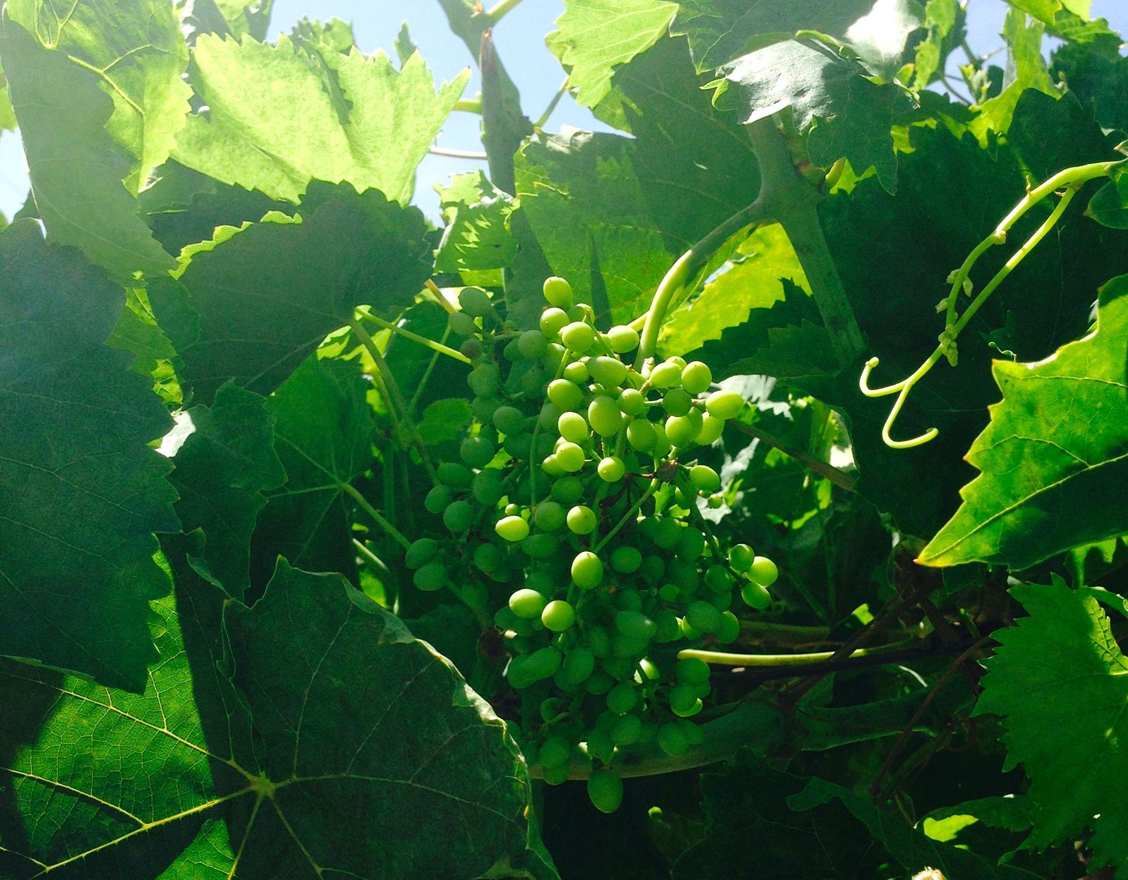 Grapes growing grapes growing fruit