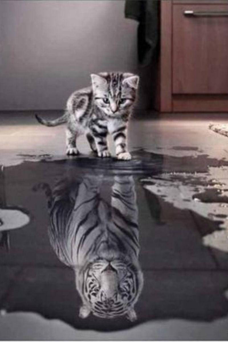 Broderie Diamant Chat Qui Voit Son Reflet De Tigre Image Chat Chat Tigre Chat Mignon