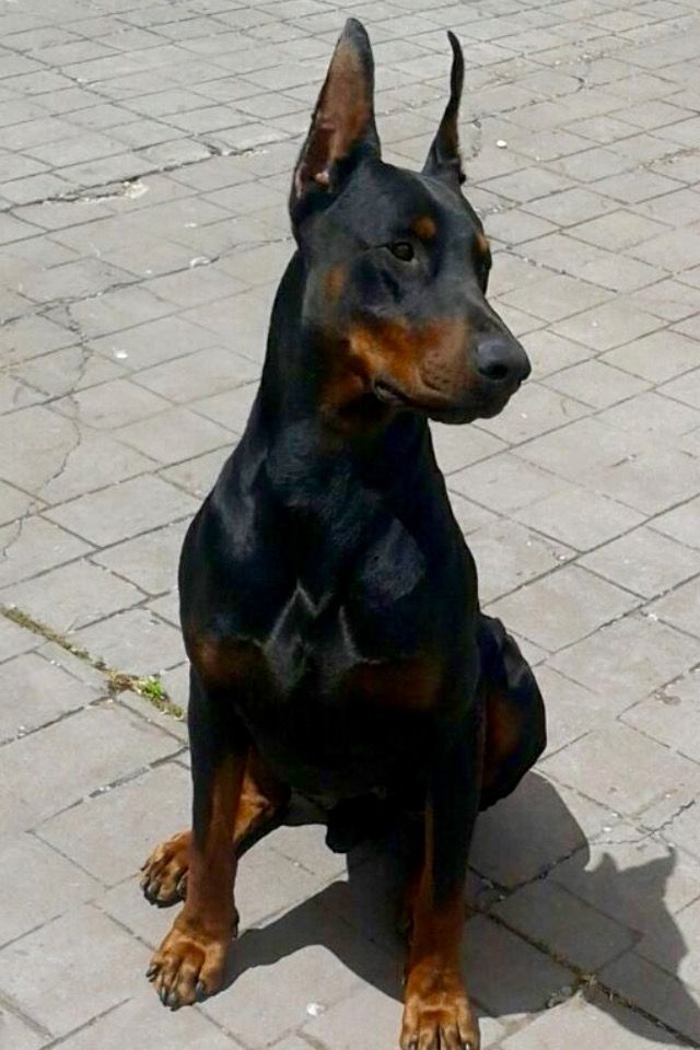 Pin By Justin On Dobbies Of Course Doberman Pinscher Doberman