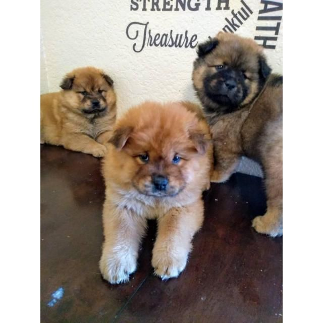 Chow Chow Los Angeles Hello I Ve Chow Chow Puppies Ready For
