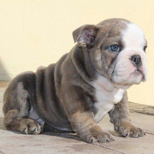 So Cutes English Bulldog Puppies Bulldog Puppies For Sale