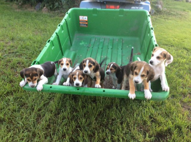 Adorable Walker Foxhound puppies dogs, puppies for