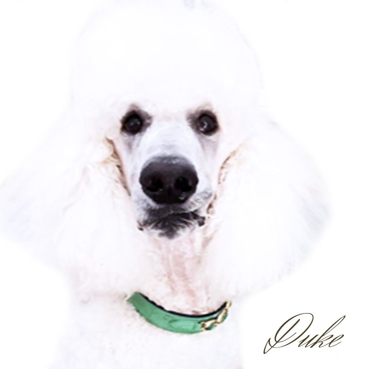 This is Duke the simply gorgeous White Standard Poodle from Sydney, Australia. He is wearing our Regency collar in kelly green, peridot & gold. Follow him @duke_thepoodle. Hartman & Rose Luxury Pet Shop. SAVE 25% on your next purchase www.hartmanandrose.com. Use code: PUMPKIN Luxury Dog Collars, Leads, Bowls & more... @hartmanandrose #hartmanandrose Exceptions apply