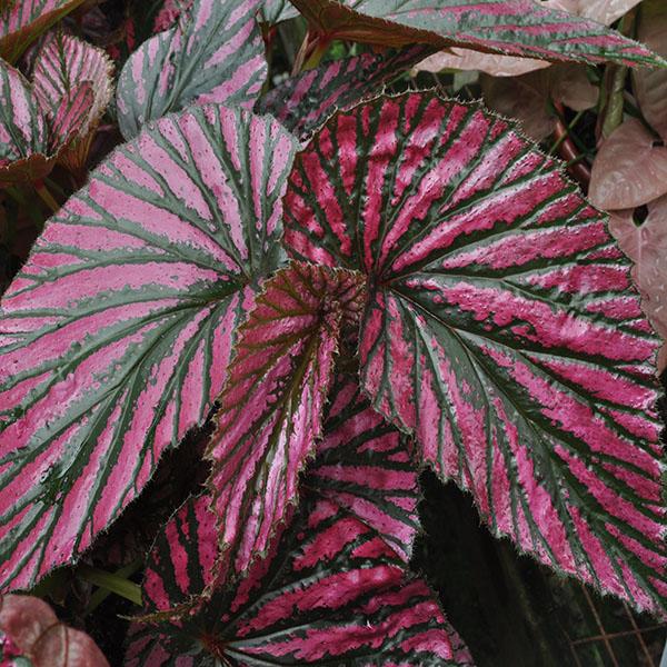 Begonia Brevirimosa For Sale Google Search In 2020 Begonia Unusual Flowers Plants