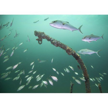 A Small School Of Greater Amberjack Swim By A Larger School Of Tomtate Canvas Ar 2020