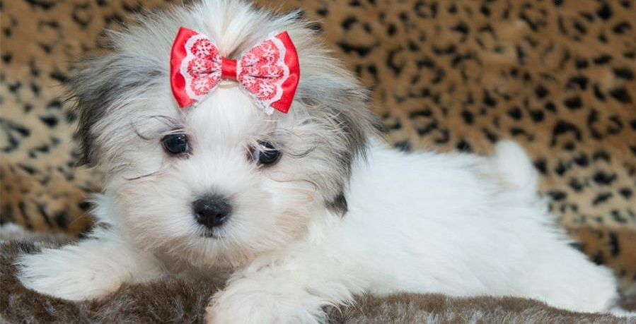 Maltese Shih Tzu Mix Maltese Shih Tzu Cute Animals Shih Tzu Mix