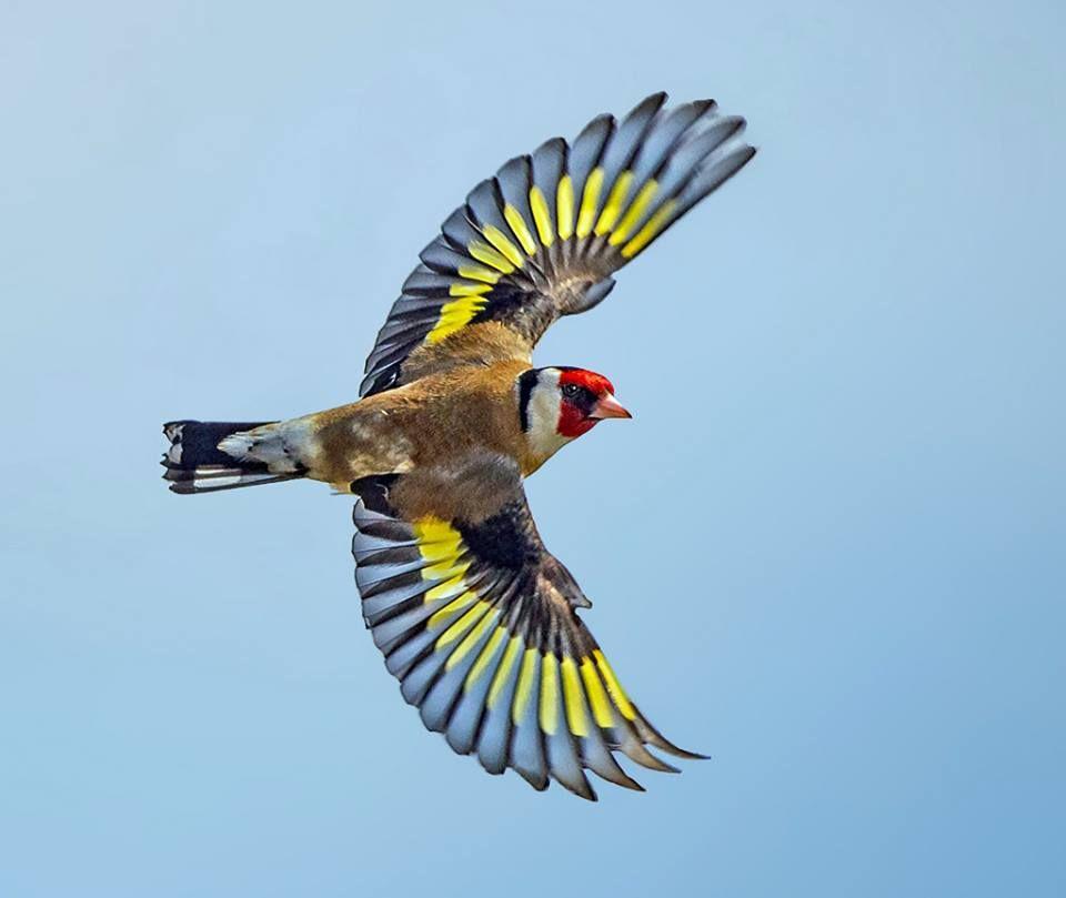 Clive Brown to BIF - Birds In Flight Goldfinch taken in ...