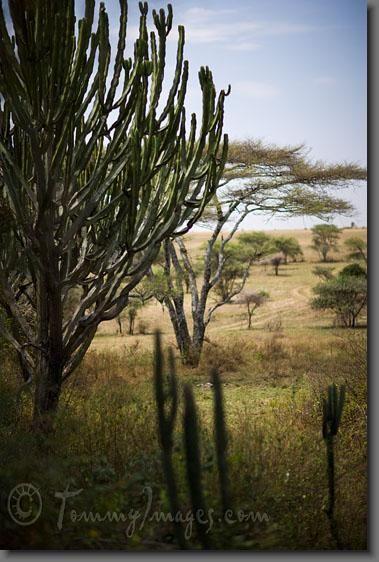 Euphorbia Candelabrum In Habitat Euphorbia Serengeti National Park Desert Garden