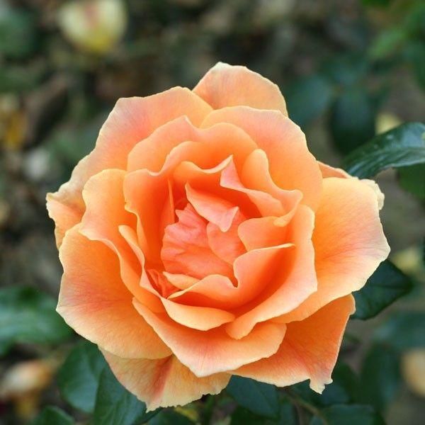 Easy Going Floribunda Rose Floribunda Roses Rose Trees To Plant