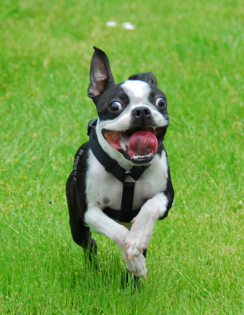Boston Terrier by Rich Seattle Boston terrier funny