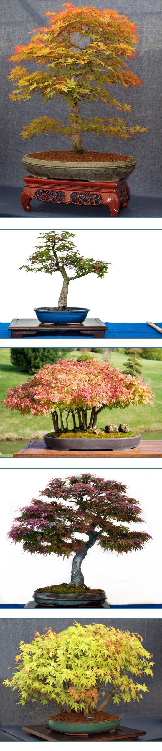 Arce japon s bons i la belleza en miniatura bonsai - Arce japones cuidados ...