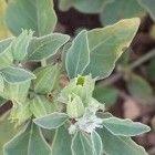 Ashwaganda wordt zowel culinair als medicinaal ingezet. In de Indiase keuken worden de jonge bladeren van ashwaganda gebruikt in gerechten. De bladere...