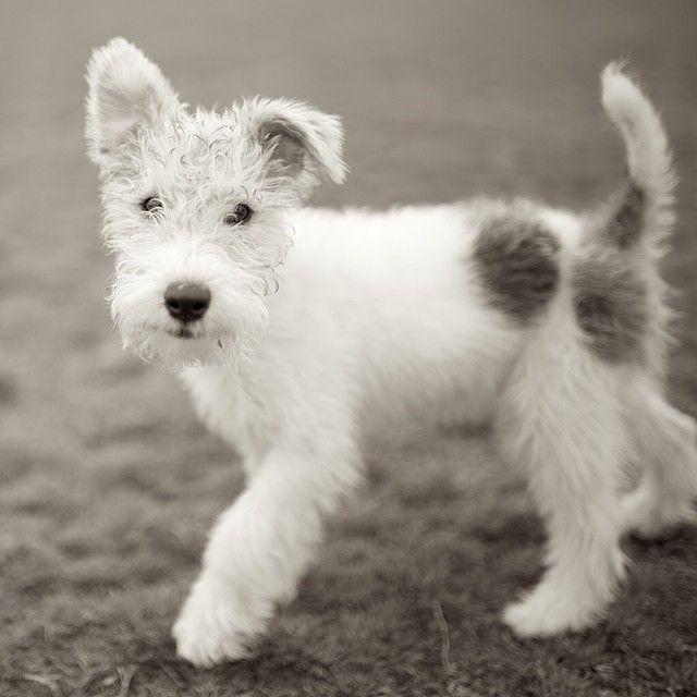 Vintagehome | I Love Dogs!!! | Pinterest | Dog, Fox terriers and ...