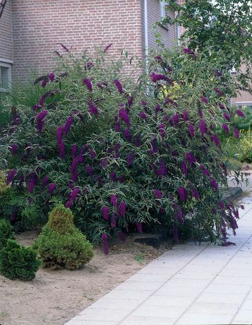 sommerfuglebusk buddleja davidii black knight garden joy pinterest butterfly bush black. Black Bedroom Furniture Sets. Home Design Ideas