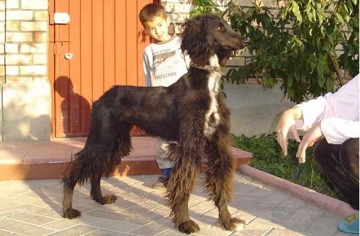 Kyrgyz Taigan Sighthound Borzaya Pets Sighthound Animals