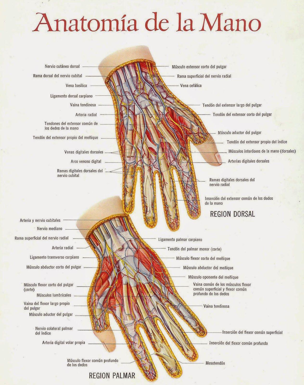 anatomia+de+la+mano+001.jpg | Anatomía miembro superior | Pinterest ...