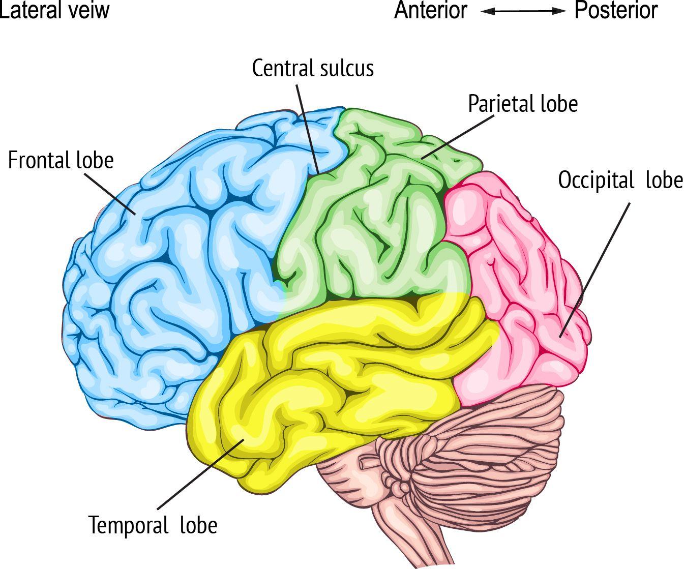 Brain Part C Frontal Lobe Temporal Lobe Parietal Lobe Escuela