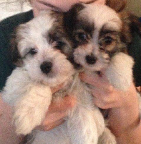 Adopt Zoey's Girls Chicago, Illinois on Maltese dogs