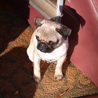 Southeast Pug Rescue Adoption Inc Sepra Was Formed In