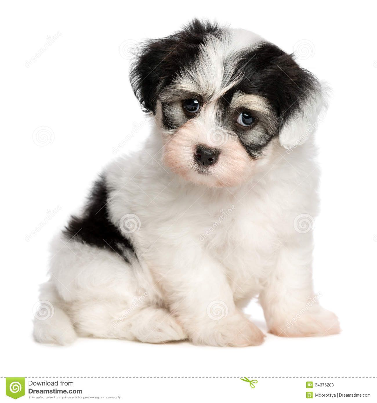 A Beautiful Sitting White Spotted Havanese Puppy Dog Stock Photos