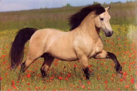 Buckskin Horse - Horses Wallpaper ID 1416409 - Desktop Nexus Animals