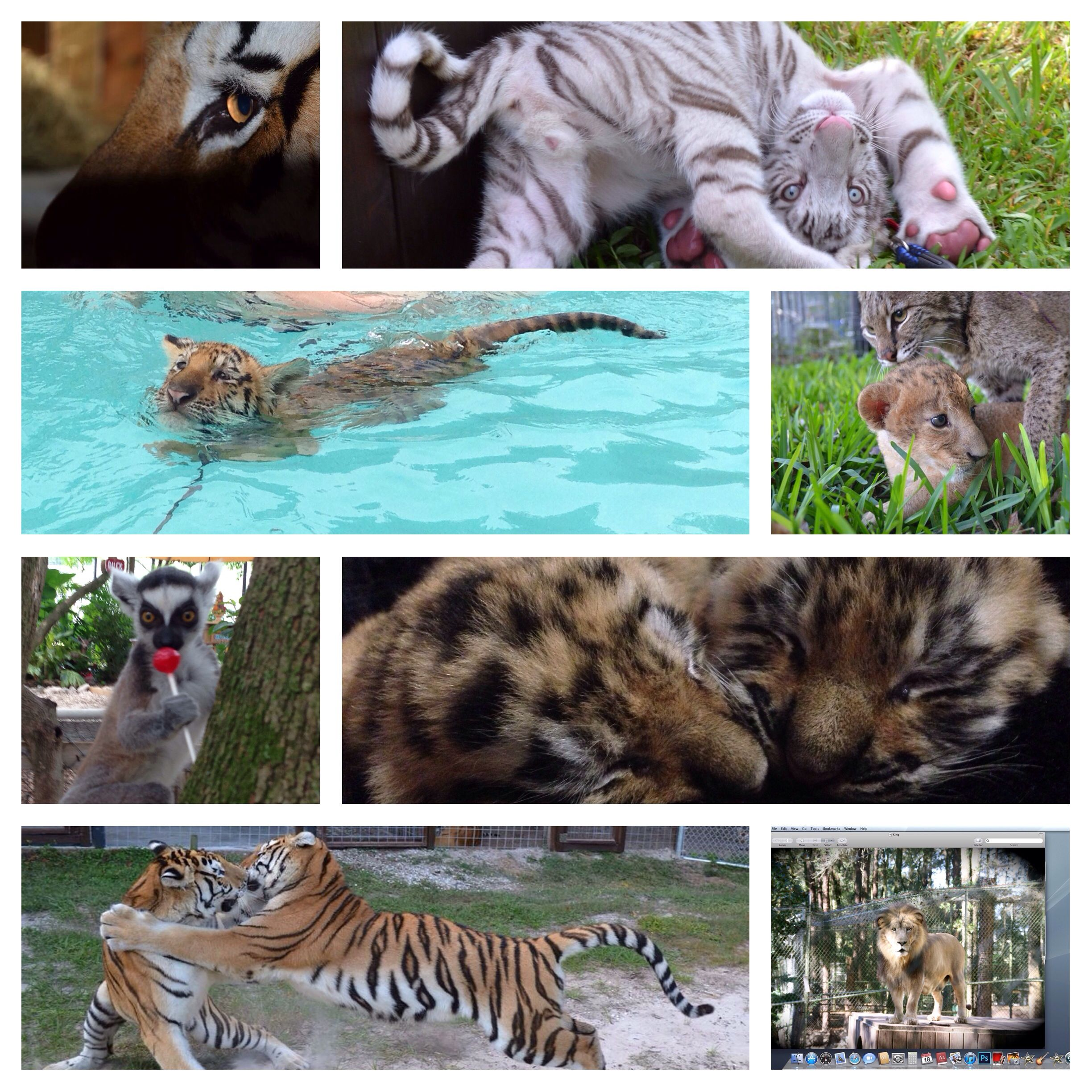 Collage Pictures Of Tigers Picture Collage Animals Pictures