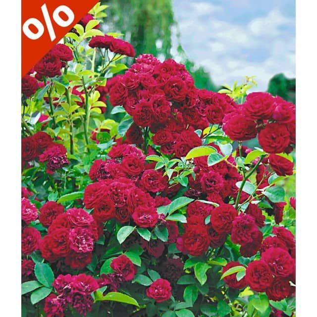 Rambler-Rosen-Kollektion, 3 Pflanzen - Baldur-Garten Gmbh