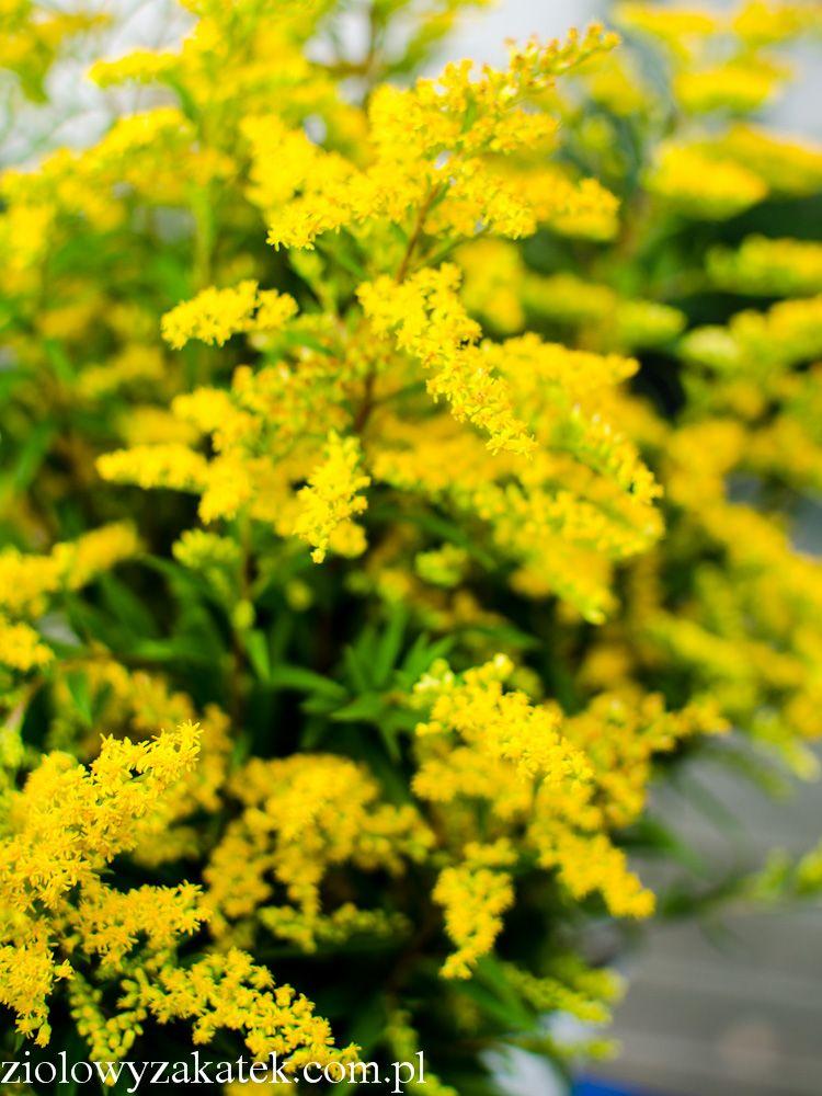 Nawloc Zastosowanie Tego Zoltego Ziela Ktore Rosnie Wszedzie Healing Herbs Healing Plants Drought Tolerant Perennials
