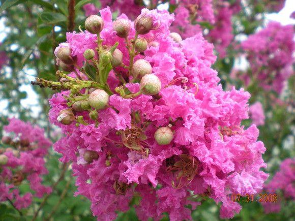 Garden Galleries - Beautiful Crepe Myrtle Blossoms - GardenWeb