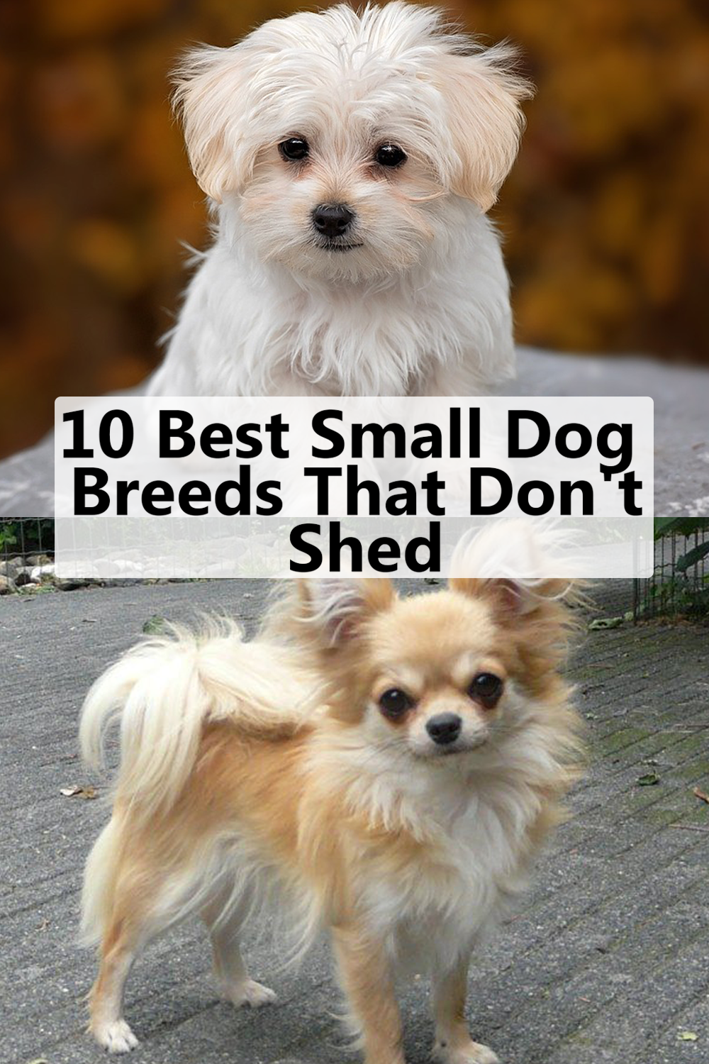 10 Best Small Dog Breeds That Don T Shed Dog Breeds That Dont Shed Best Small Dogs Best Small Dog Breeds