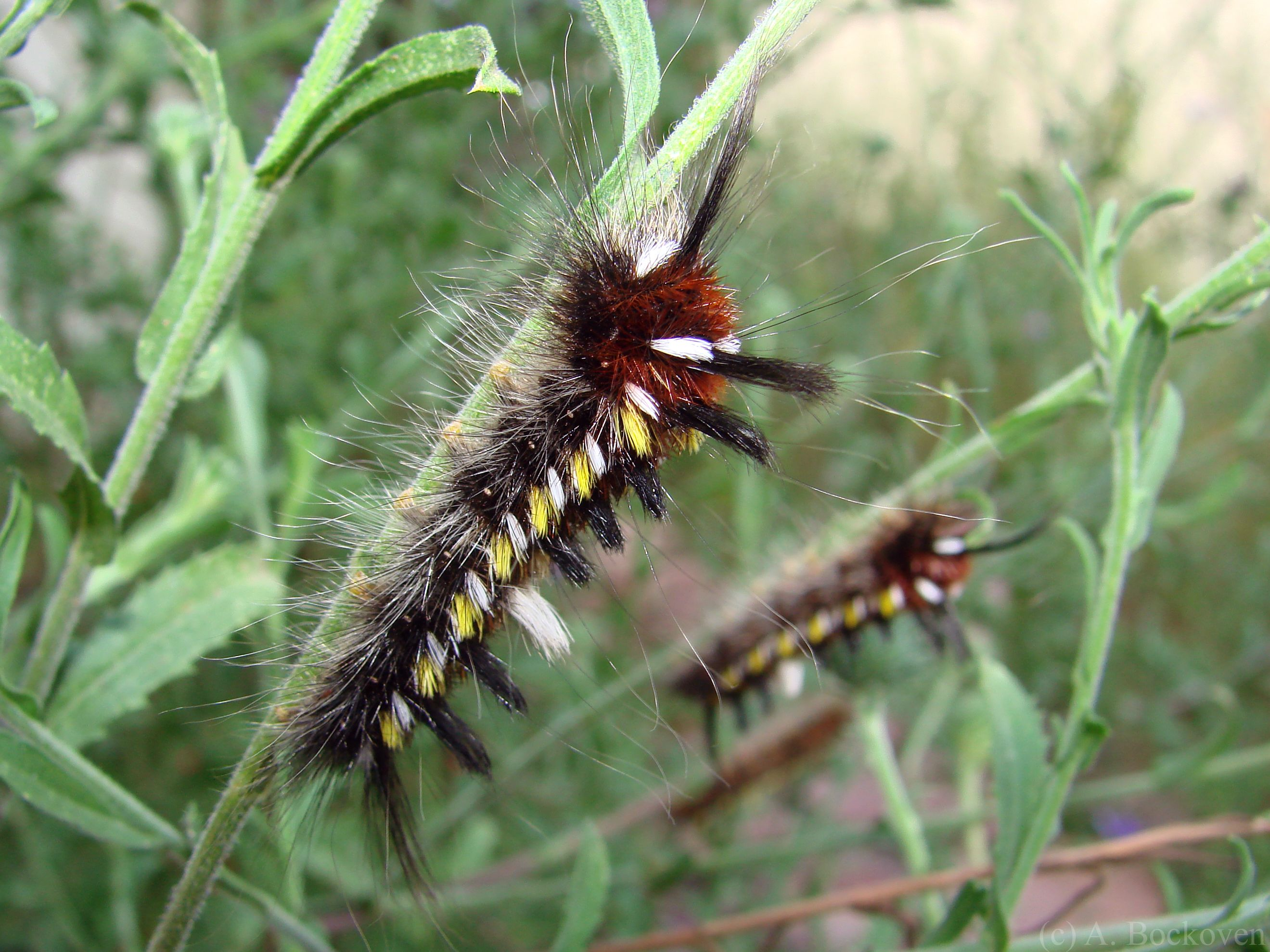 Posts About Caterpillars On 6legs2many Caterpillar Spotted Yellow Red White