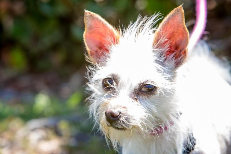 Kansie Is An Adoptable Maltese Searching For A Forever Family Near San Diego Ca Use Petfinder To Find Adoptable Pets In Your Area Dog Adoption Dogs