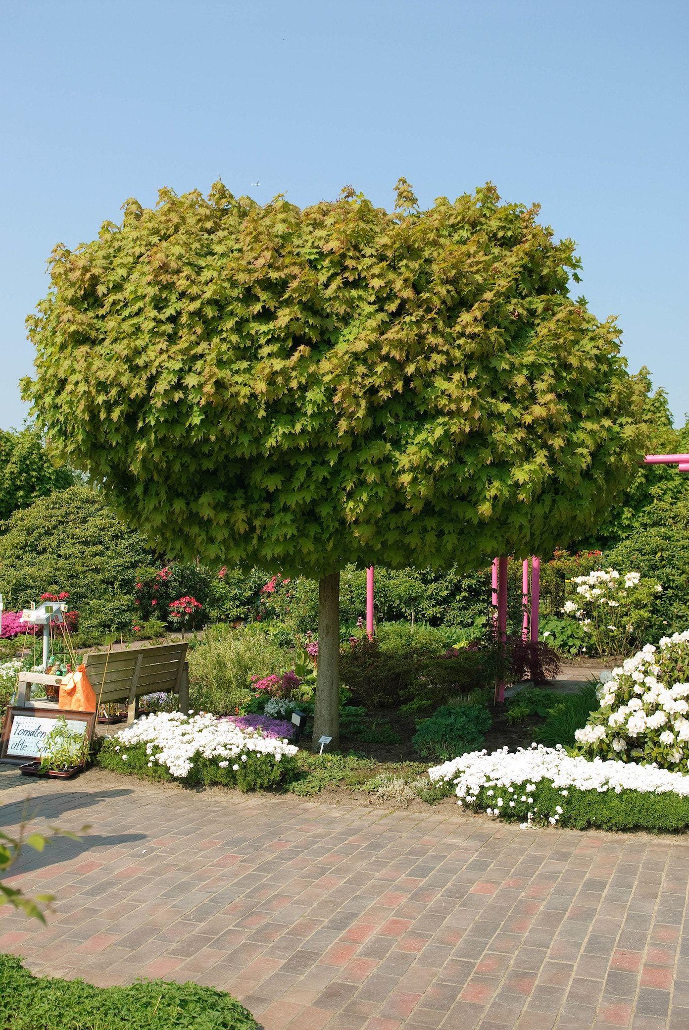 4 Schattenspendende Baumarten Fur Kleine Garten Baume Garten Schattenspendende Pflanzen Gartenbaume