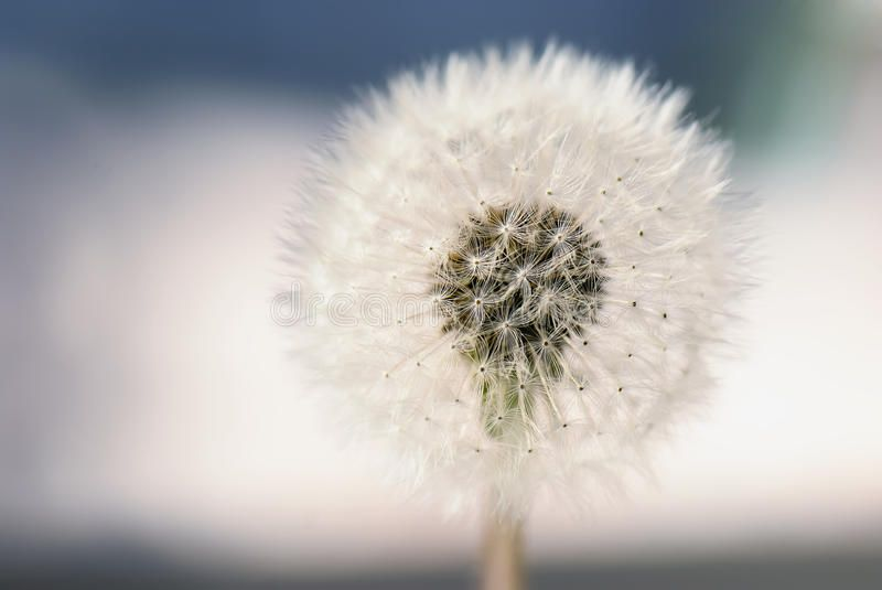 Fluffy Dandelion Bokeh Quality Picture Of A Fluffy Dandelion Flower Clear And Affiliate Fluffy Picture Clear F Dandelion Dandelion Flower Flowers