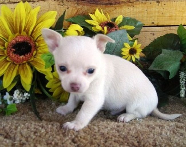 Teacup Chihuahua Puppies For Sale Uk Zoe Fans Blog Chihuahua