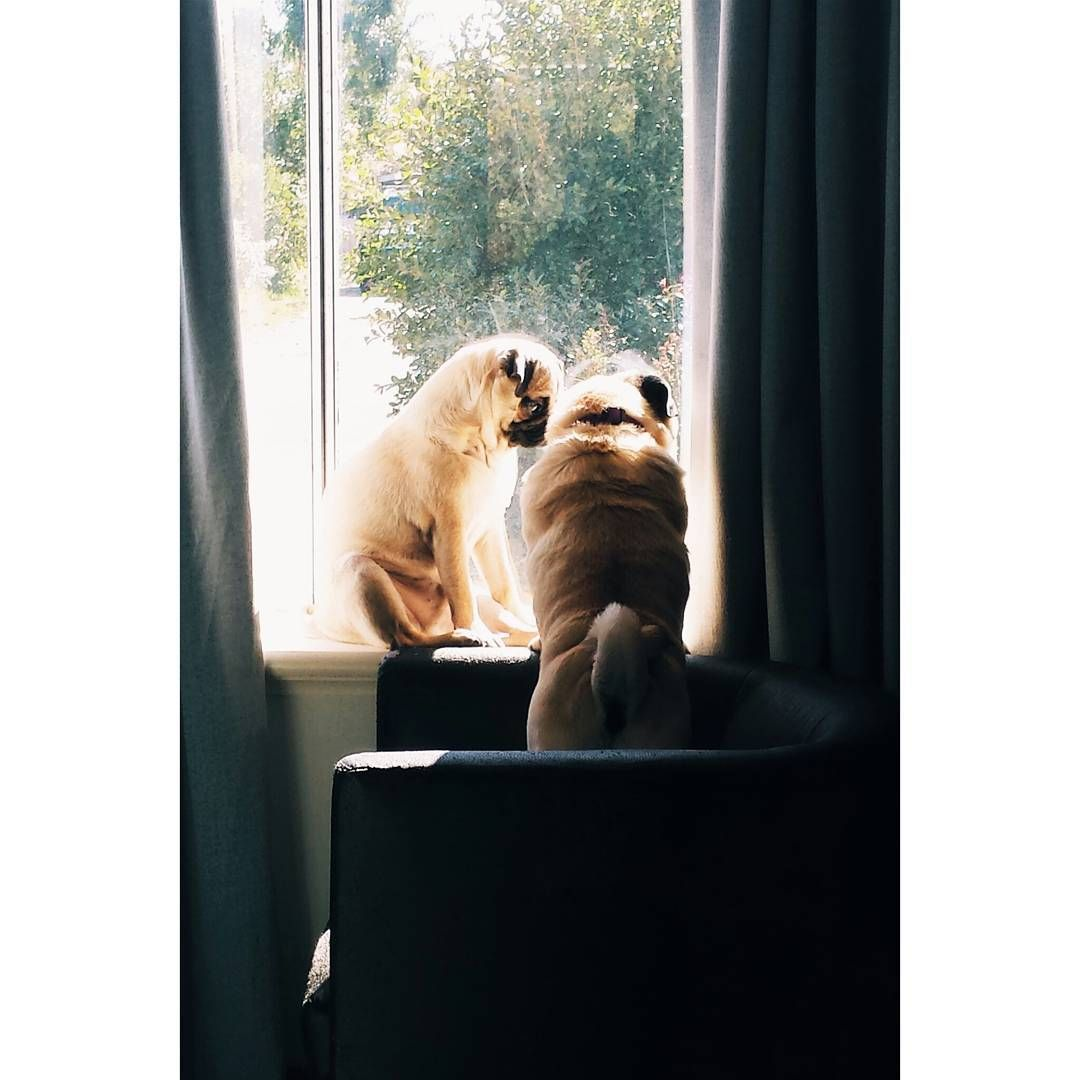 Just wanted to share this photo of me and my foster sister Dallas  It's from when she first came to stay with us and I had to teach her how to climb up on the chair to get up to the window sill and soak up the sun. She is older than me but I still teach her new things sometimes. She came to us through @pugsinperth and has been with us for 2 weeks now. She is such a lovely lady and it's been a pleasure having her in our family