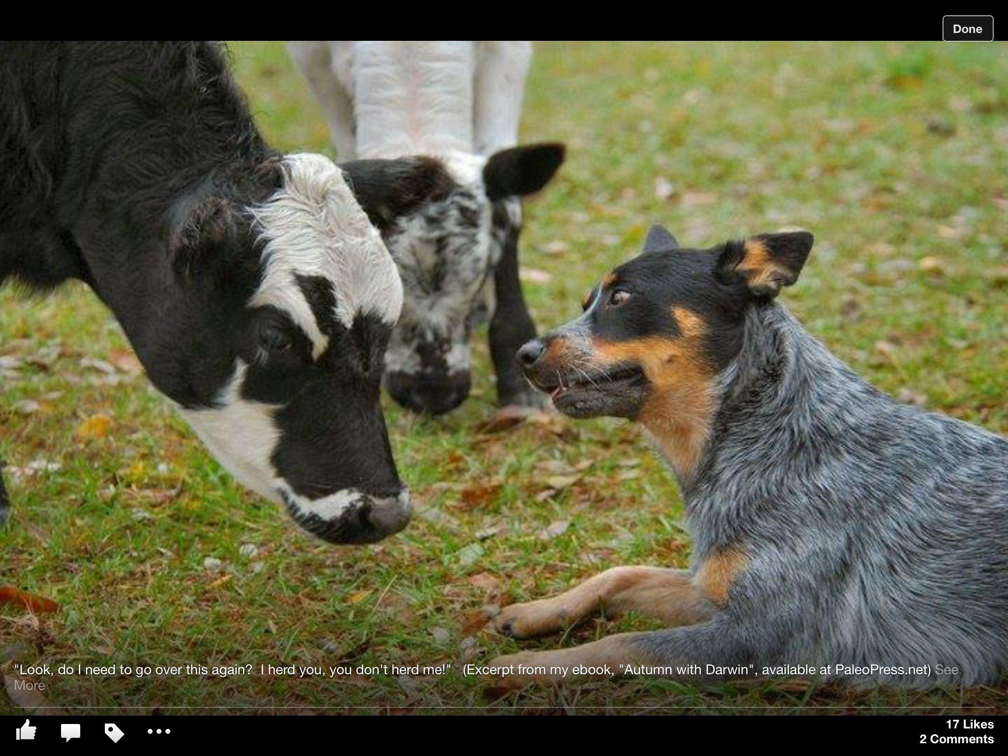You Don T Herd Me I Herd You Blue Heeler Australian Cattle Dog
