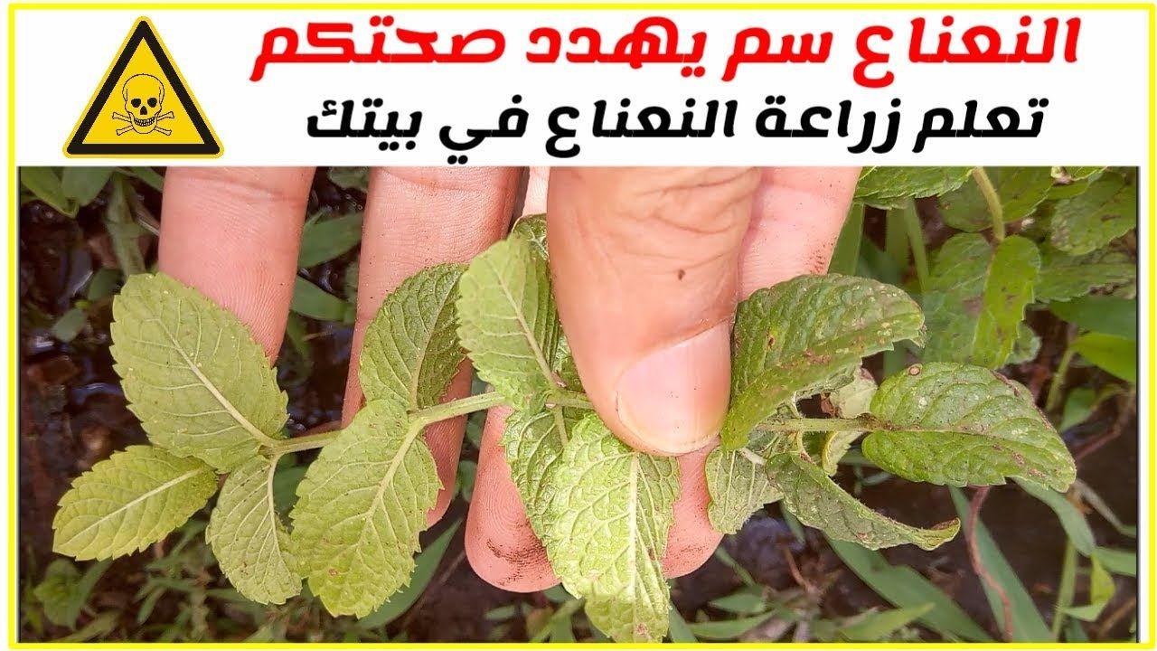 النعناع سم يهدد صحة العرب إزرع نعناع في بيتك Https Youtu Be P4g3tg6pc1q Corn Vegetables Food