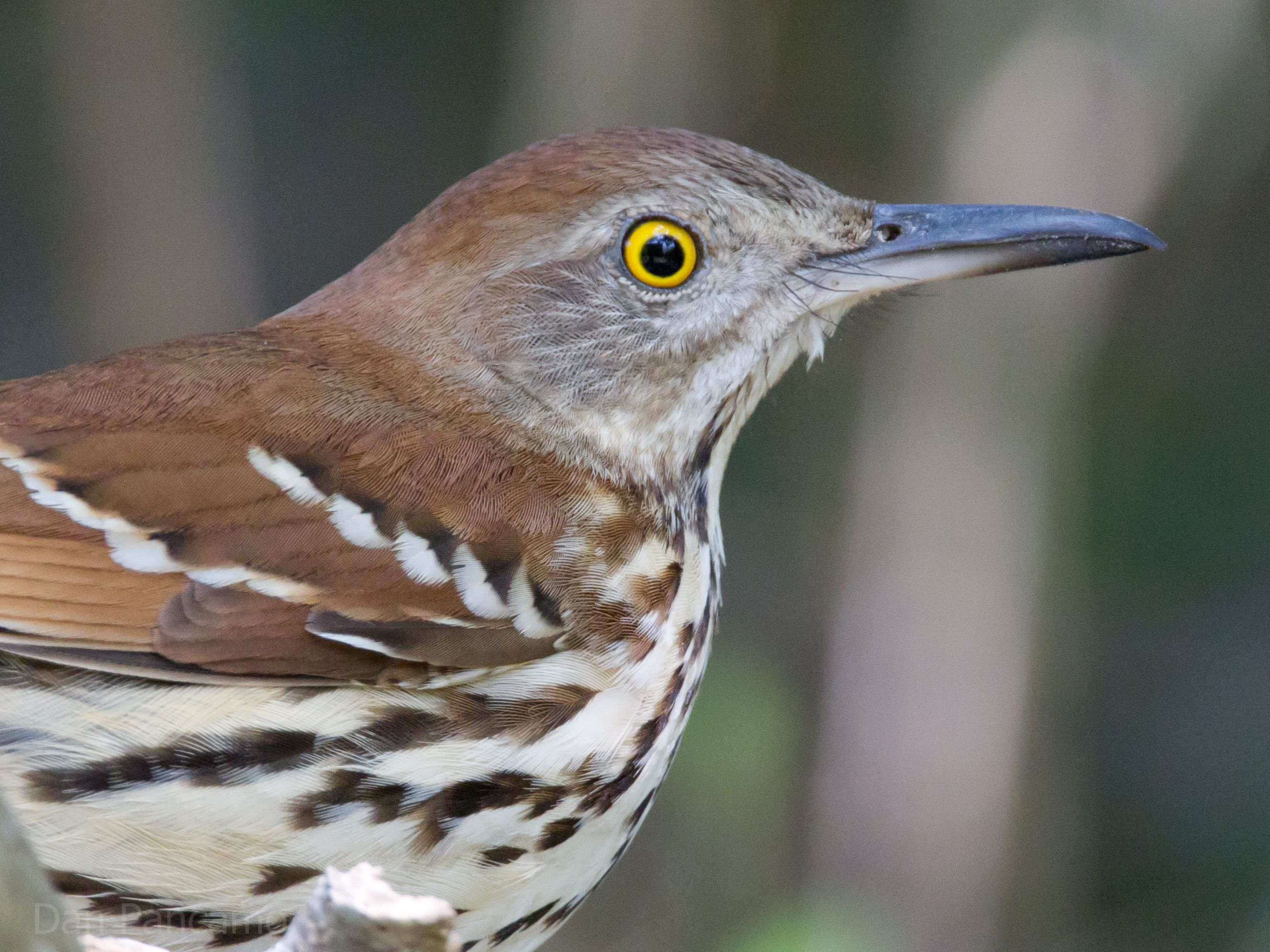 North Carolina Mountain Birds Brown Thrasher With Images