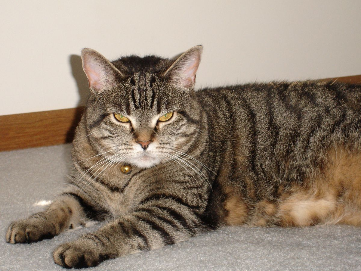 The Mackeral Tabby Is The Most Common Tabby Coat Pattern Grey