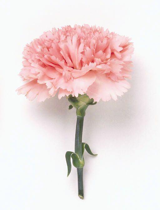 Pin By Mitch On What I Would Do For My Wedding Pink Wedding Flowers Pink Carnations Carnation Flower
